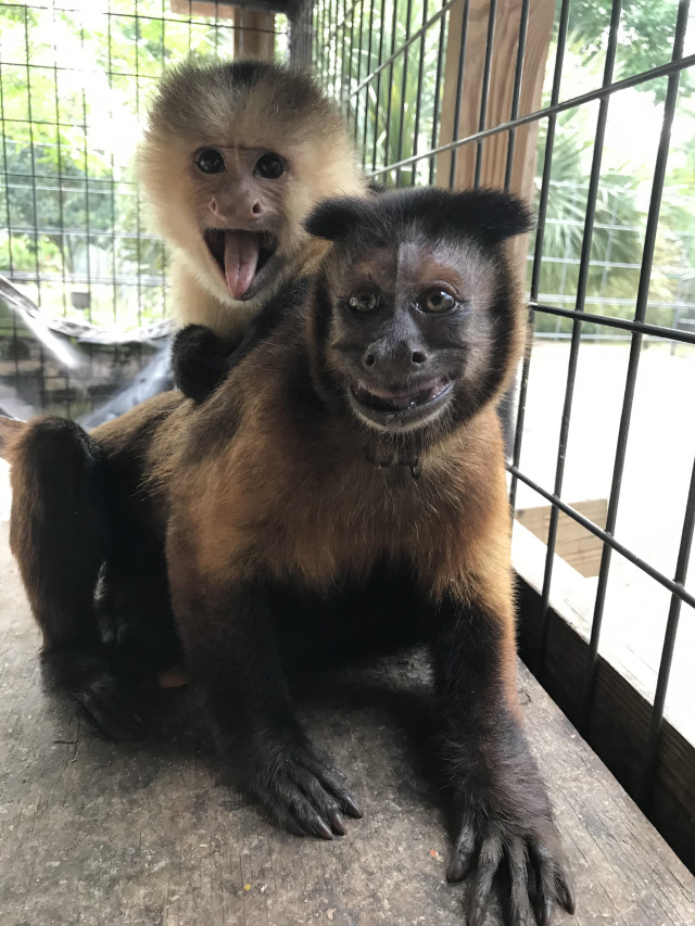 Monkey Adoption