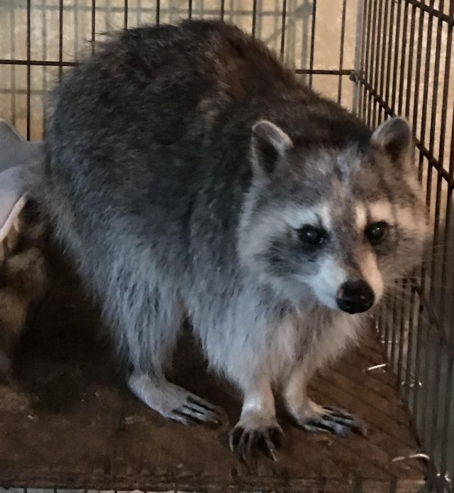 Raccoon Adoption